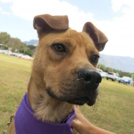 bullmastiff cross puppy