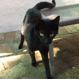 young female black cat