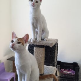 Two young white kittens on a scratch post