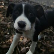 female black and white puppy