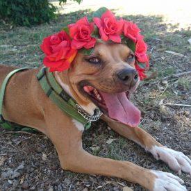 medium size brown dog