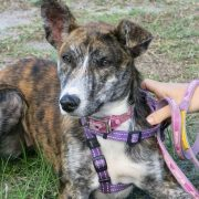 Young, brindle-coloured female dog